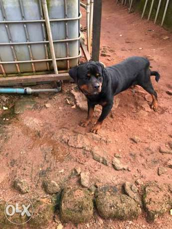 Pedigree Rottweiler puppies available Ugbowo - image 7