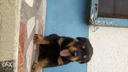Pure rott puppies for sale very cheap