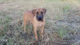 Boerboel (The Royal Pets)