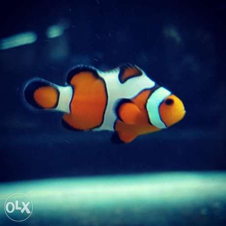 Regular & Designer Clownfish