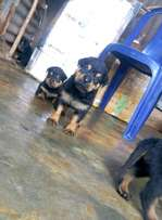Rottweiler pedigree male and female puppies