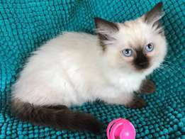Ragdoll kittens registered breeder