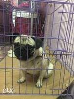pug for mating