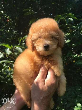 Poodle Dogs Olx Online Classifieds