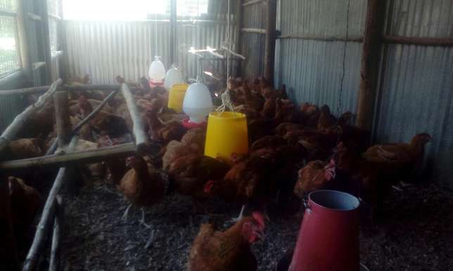Sell of chicken Kisumu CBD - image 4