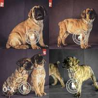 Pedigree Boerboel & Pedigree Rottweiler Available