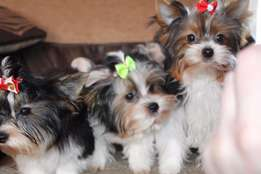 Cheerful And Energetic Biewer Terrier Puppies For Sale!