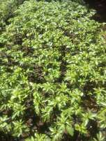 Passion fruits seedlings