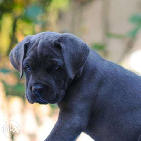A wonderful cane corso boy is looking for his home.