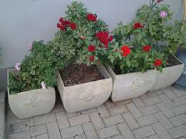 Potted roses x 4