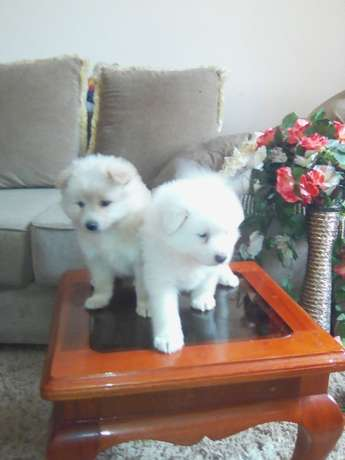 Pets puppies Balozi - image 2