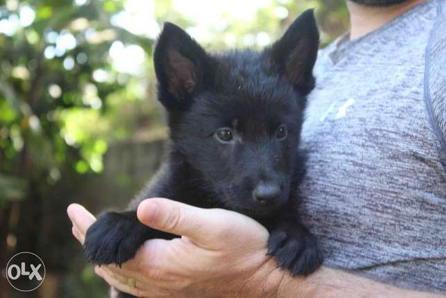 Extremely Rare Dark Sable\ Black German Shepherd pups.Parents imported Kasarani - image 6