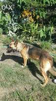 Belgium Malinois female on sale