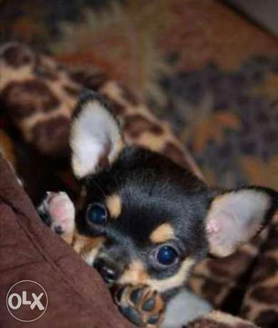Reserve ur imported teacup chihuahua puppy, top quality with Pedigree