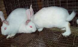 Afordable rabbits and rabbit meat on sale