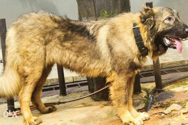 Adult Male Caucasian dog Ojodu - image 3