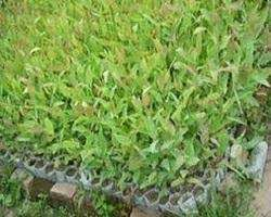 eucalyptus seedlings