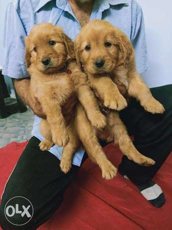 pure 2 Golden retriever puppies Top quality Extra Long hair