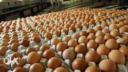 Turkey, broilers, eggs