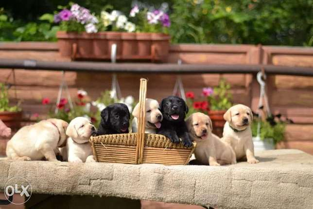 Labrador Puppies Imported With All Documents