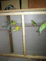 7 budgies for sale