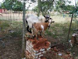 Goats Cameroon Pigme Bokke
