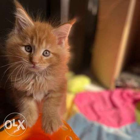 Maine Coon, cats, kittens,