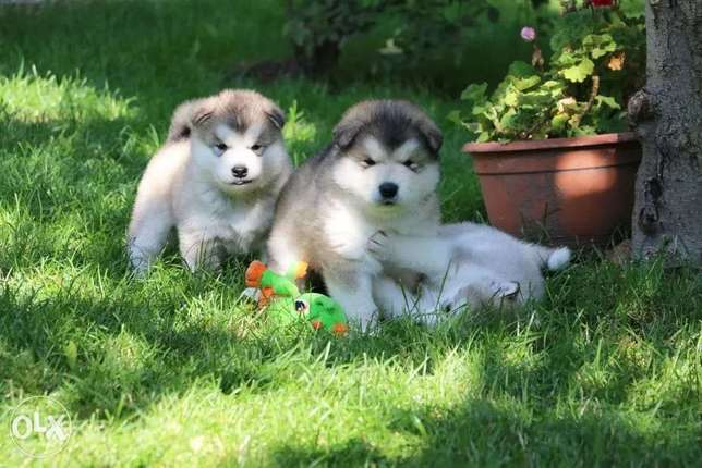 Pedigree Puppies Alaskan Malamute