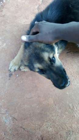 10000 ksh German Shepherd puppy Nyari - image 2