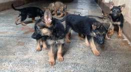 Quick Sale Large Tenacious Pure German Shepherd Pups