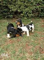basset hound pup for sale