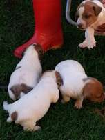 Jack Russell's for sale (6 weeks)