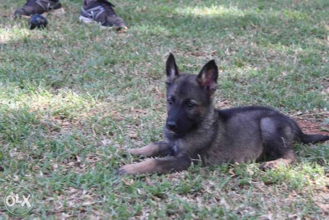 Extremely Rare Dark Sable\ Black German Shepherd pups.Parents imported Kasarani - image 5