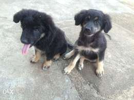 Caucasian mix puppies for sale