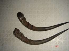Real Impala Horns, clean and hollow, ideal for home decor panel
