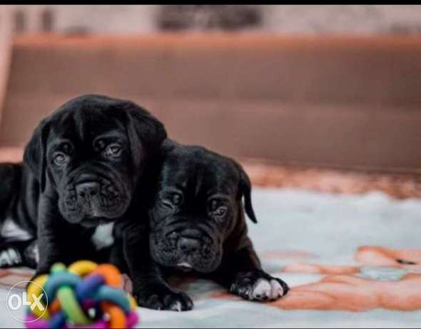 Imported black cane corso puppies with pedigree جراوي كين كورسو بالبدج