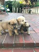 Adorable chowski Puppies