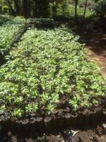 Grafted passion fruit seedlings