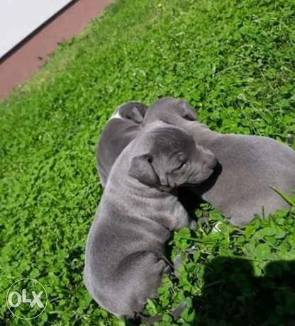 Pitbull Blue Nose Puppies For a Special Price
