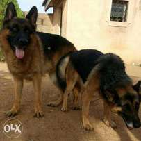 Parent GSD forsale male and female pure breed