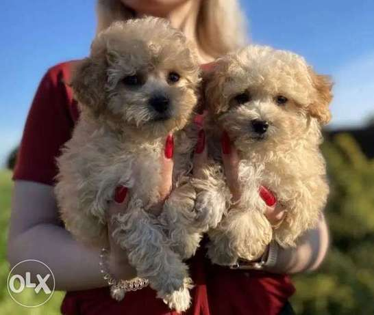 Imported Maltipoo Top Quality Full documents from Ukraine