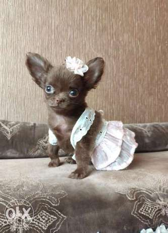 Imported teacup chihuahua puppies, chocolate color