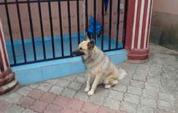 ‹Back   NO PHOTO Pure breed german shepherd