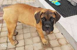 Pedigree Female Bullmastiff Puppy.