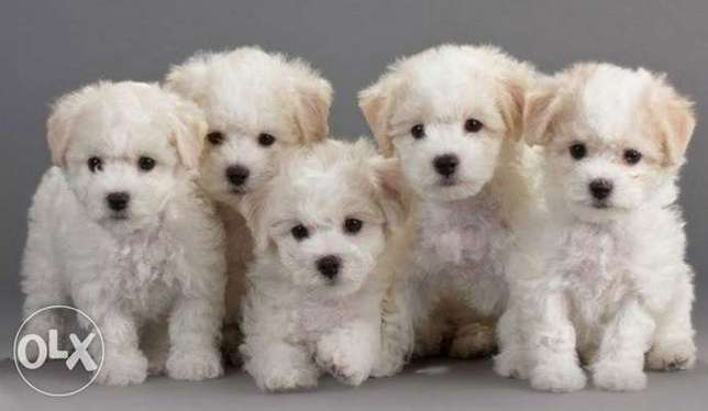 House dog bichon