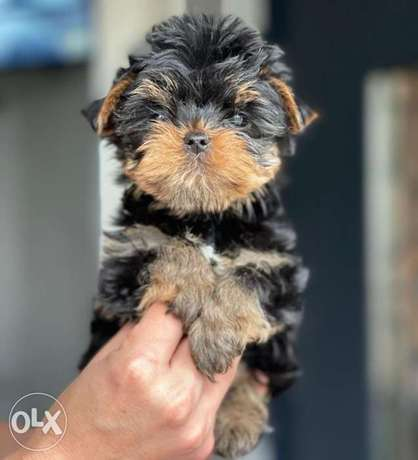 Teacup Yorkshire Male & Female Imported From Ukraine Full Documents