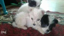Maltese pappilon puppies for sale
