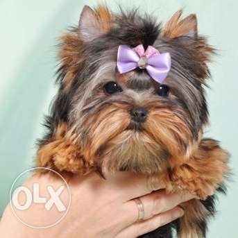 Gorgeous mini Yorkshire terrier girl (will be about 1.5kg)