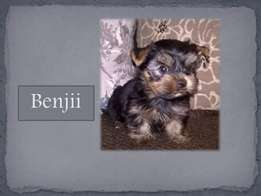 Yorkshire Terrier Puppies for sale Pedigree