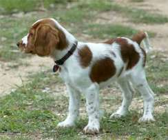 Welsh springer puppies for sale